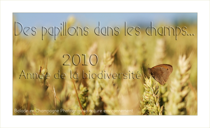 Papillon dans un champ de bl: agriculture et biodiversit