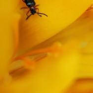 Fleur jaune, coléoptère noir (oulema)