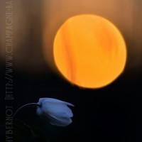 anemone-sylvie