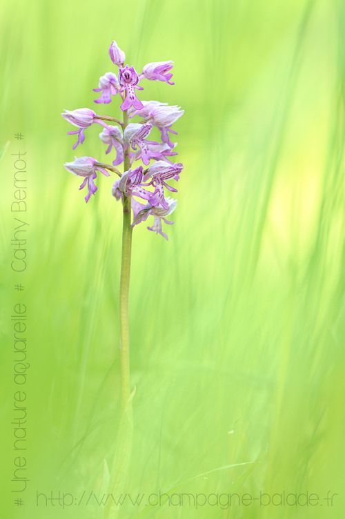 orchis militaire a jaligny