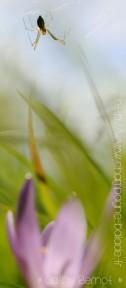 110830-colchique-araignee-rw