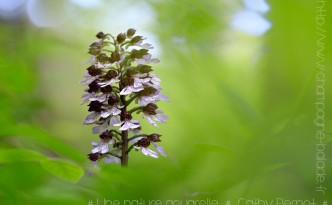 Orchis pourpre | Orchis purpurea